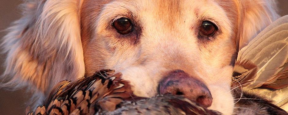 livmorbetændelse hos hunde